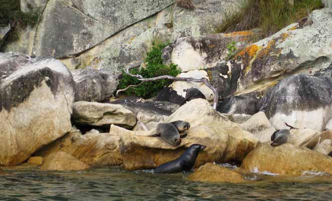 Les otaries à fourrure sont le plus souvent visibles sur les rochers de Tonga Islands ou elles viennent profiter du soleil.