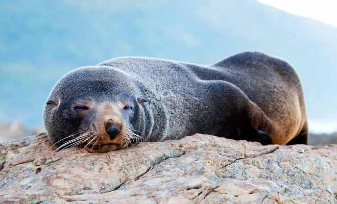 Des excursions en bateau font le tour de la péninsule. Vous pourrez observer les otaries à fourrure qui vivent sur les rochers.