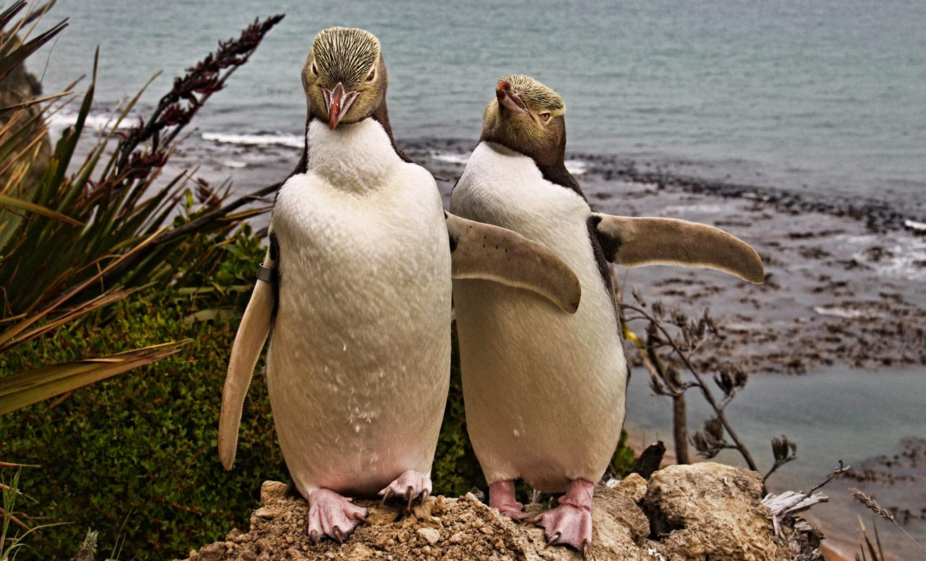 On trouve des manchots (et non des pingouins comme on peut le lire parfois) sur les deux îles de Nouvelle-Zélande, mais les colonies sont essentiellement installées au sud du pays.