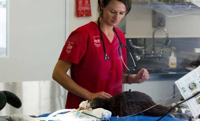 Parce que l'espèce tout entière est menacée, les kiwis blessés sont pris en charge et soignés par des vétérinaires compétents.