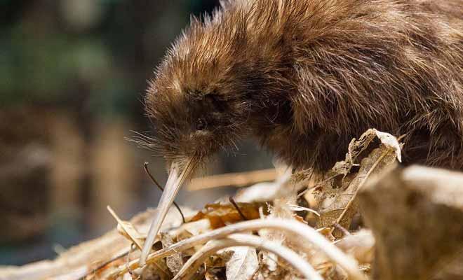 L'absence de prédateurs a dissuadé le Kiwi de voler, et la loi de l'évolution lui a fait perdre ses ailes. Avec son long bec, il fouille la terre à la recherche de vers de terre.