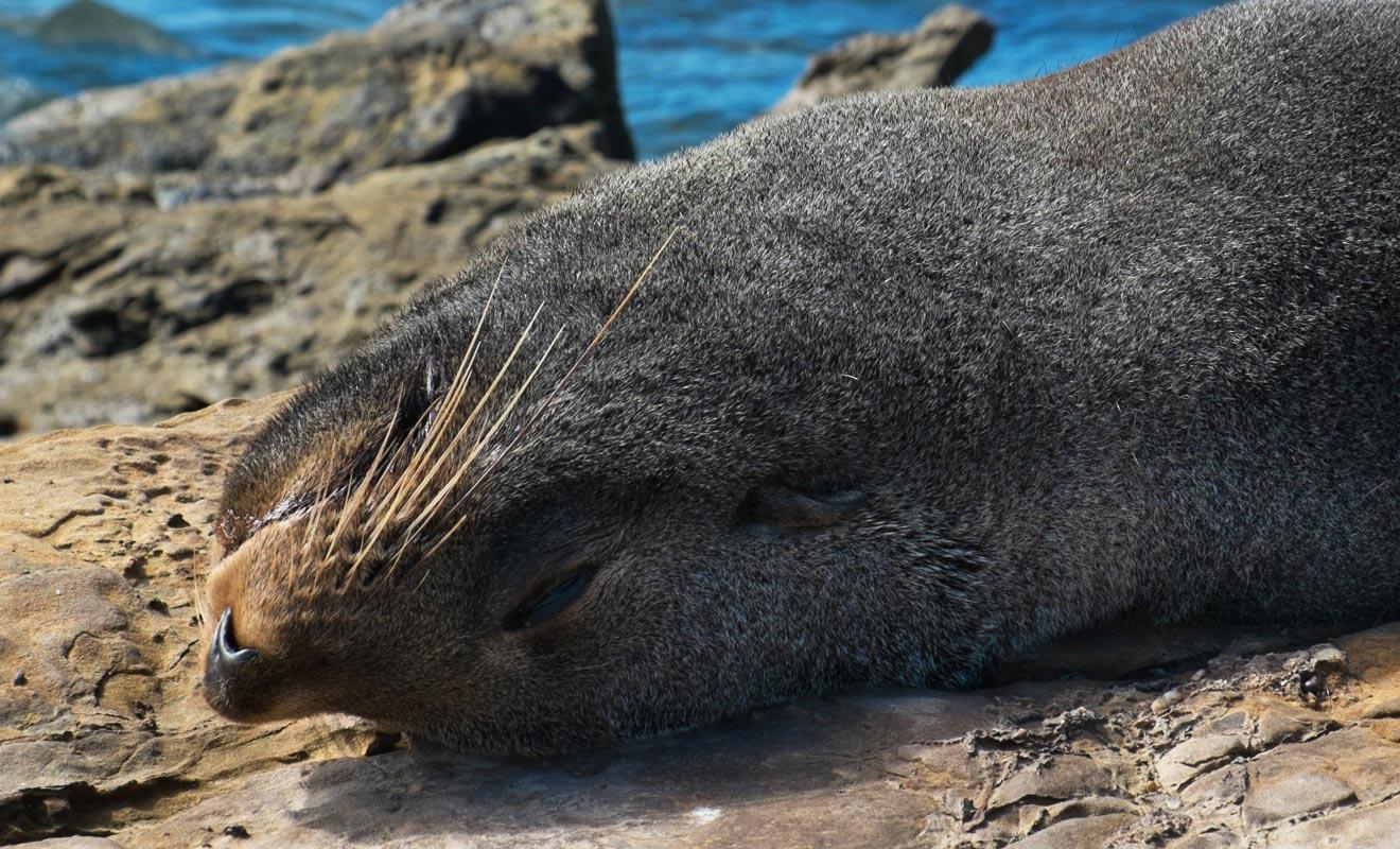 Les Catlins sont une région réputée pour la présence de nombreux mammifères marins. Les otaries à fourrure y sont nombreuses, surtout en bord de mer près des rochers où elles se reposent entre deux pêches.