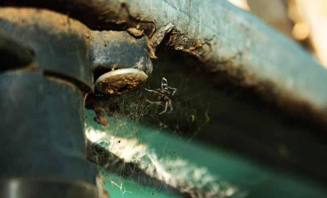 Il n'existe que deux espèces d'araignées venimeuses en Nouvelle-Zélande. La White Tailed Spider a débarquée d'Australie dans les bagages des premiers colons.