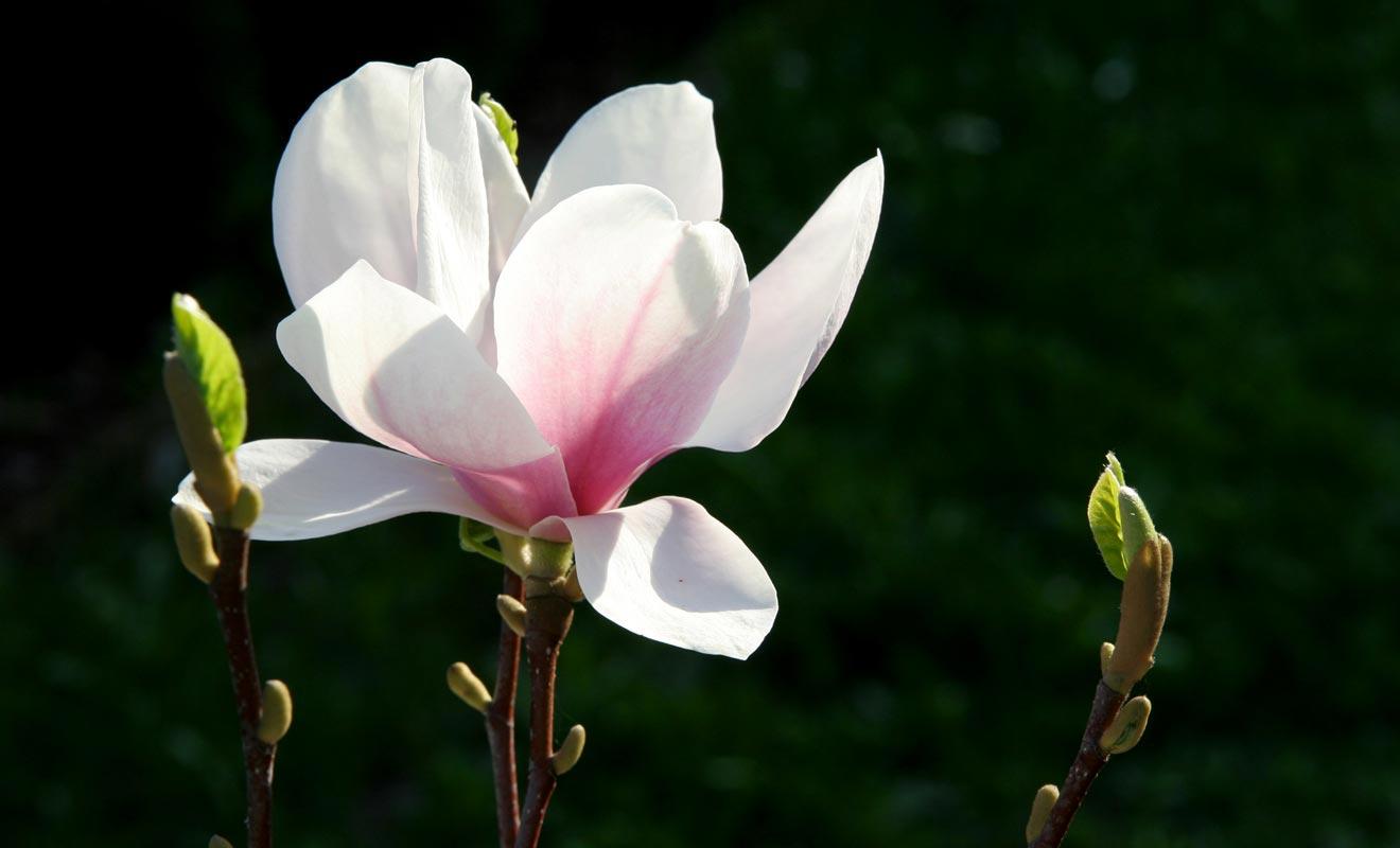 Les magnolias du Jardin botanique sont l'une des nombreuses variétés de fleurs de la serre tropicale.