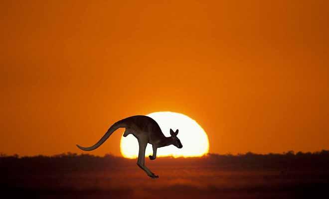 Le kangourou est inévitablement associé au continent australien.