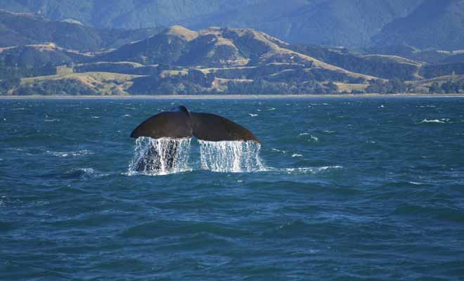 Il n'y a pas de saisons idéales pour observer les baleines en Nouvelle-Zélande, car elles sont présentes toute l'année dans la péninsule de Kaikoura, au large de l'Île du Sud.