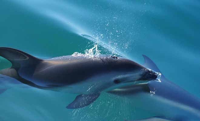 De nombreuses sorties permettent d'observer des dauphins. Vous pourrez même enfiler un masque à tuba et nager en leur compagnie.