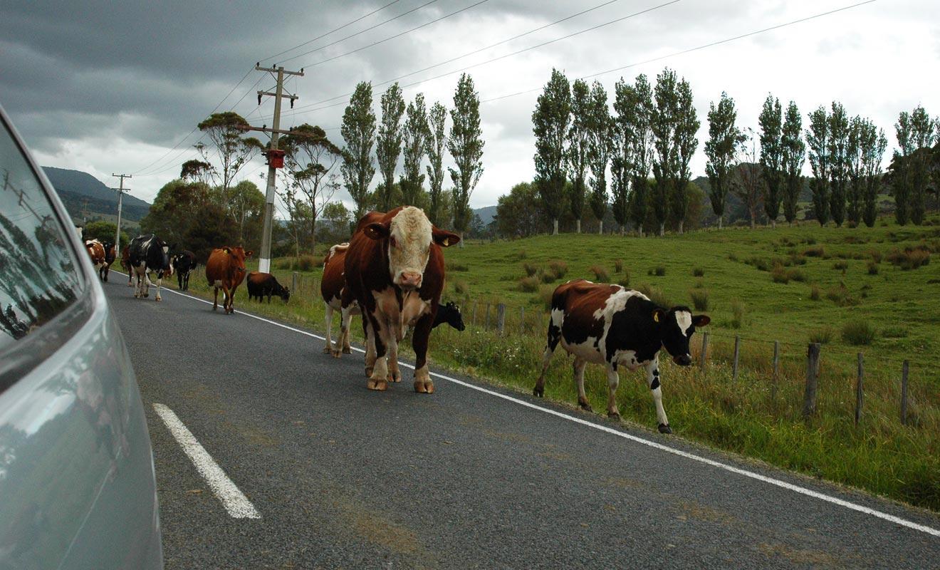 Vous serez parfois contraint de ralentir ou de vous arrêter pour laisser passer un troupeau de mouton ou de vaches laitières.