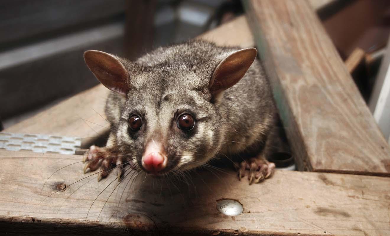 Ce petit marsupial semble bien inoffensif, mais il ravage les forêts et transmet la rage au bétail.