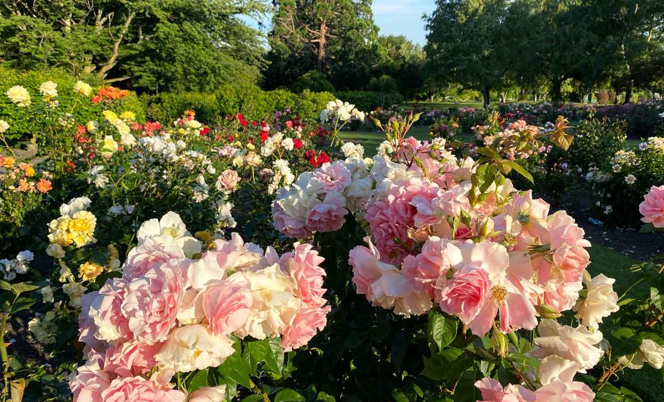 Une grande variété de roses sont plantées dans le Centennial Rose Garden.