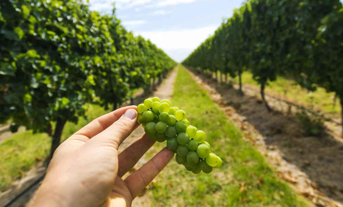 L'irrigation d'une telle quantité de pieds de vigne commence à poser de sérieux problèmes.