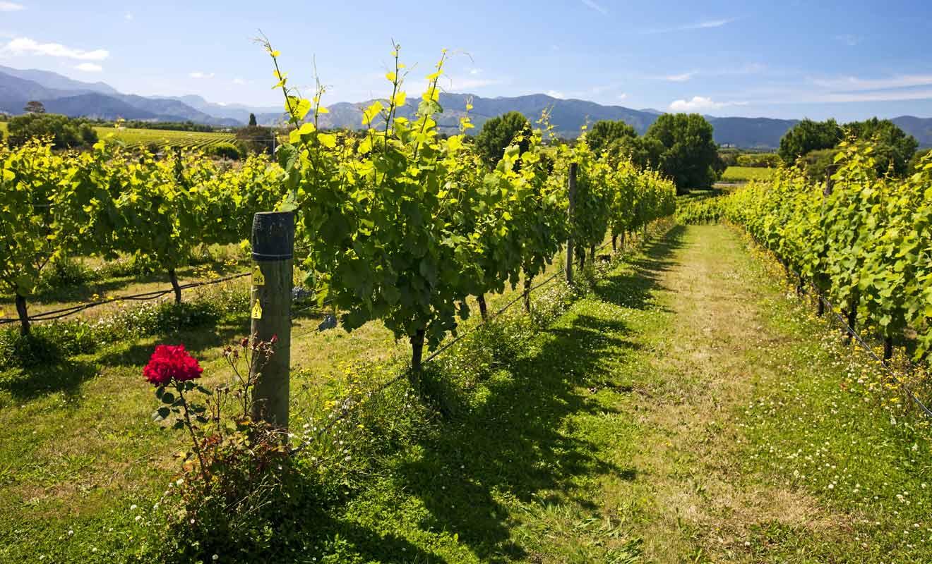 Sauvignon blanc, pinot noir et chardonnay sont les principaux grands crus mis en bouteille dans la Wairau Valley.