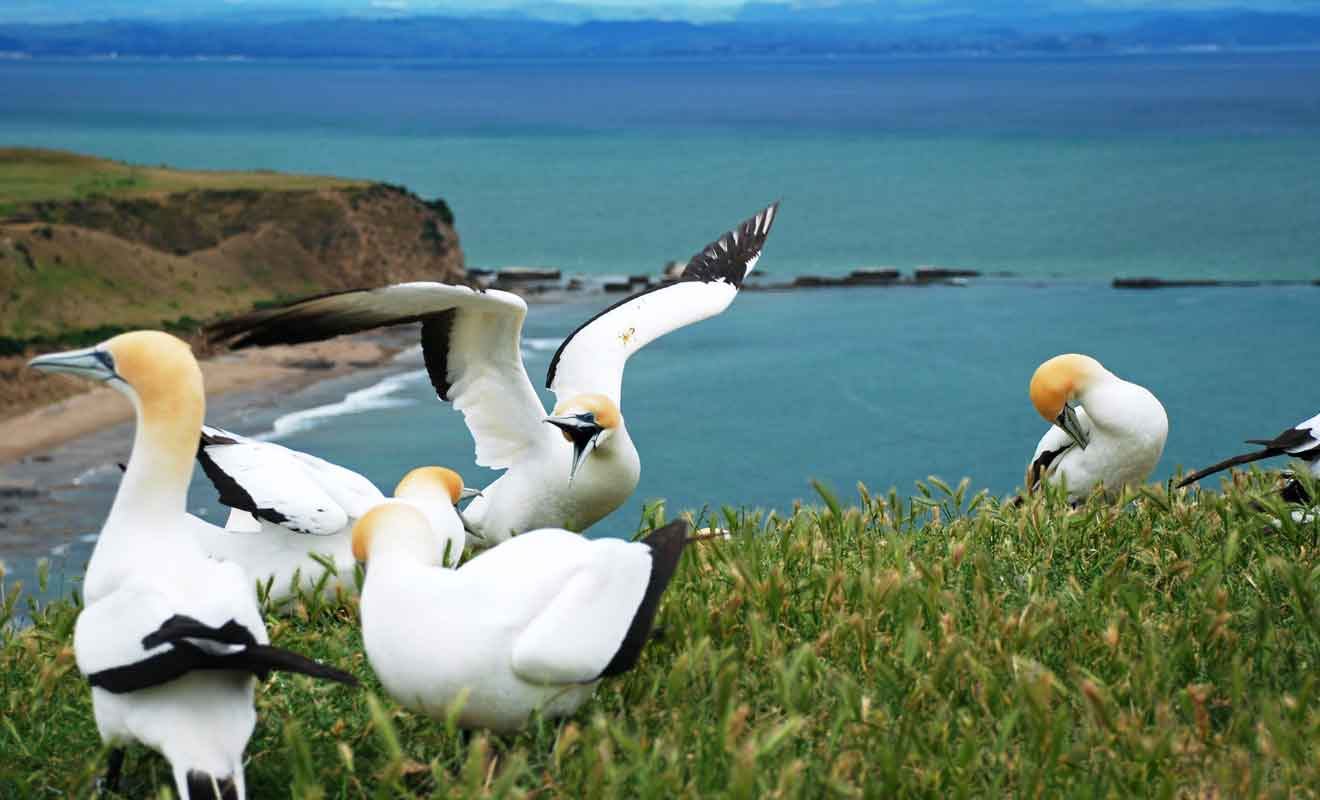 L'Australasian Gannet n'est pas un fou de Bassan, mais un oiseau migrateur cousin.