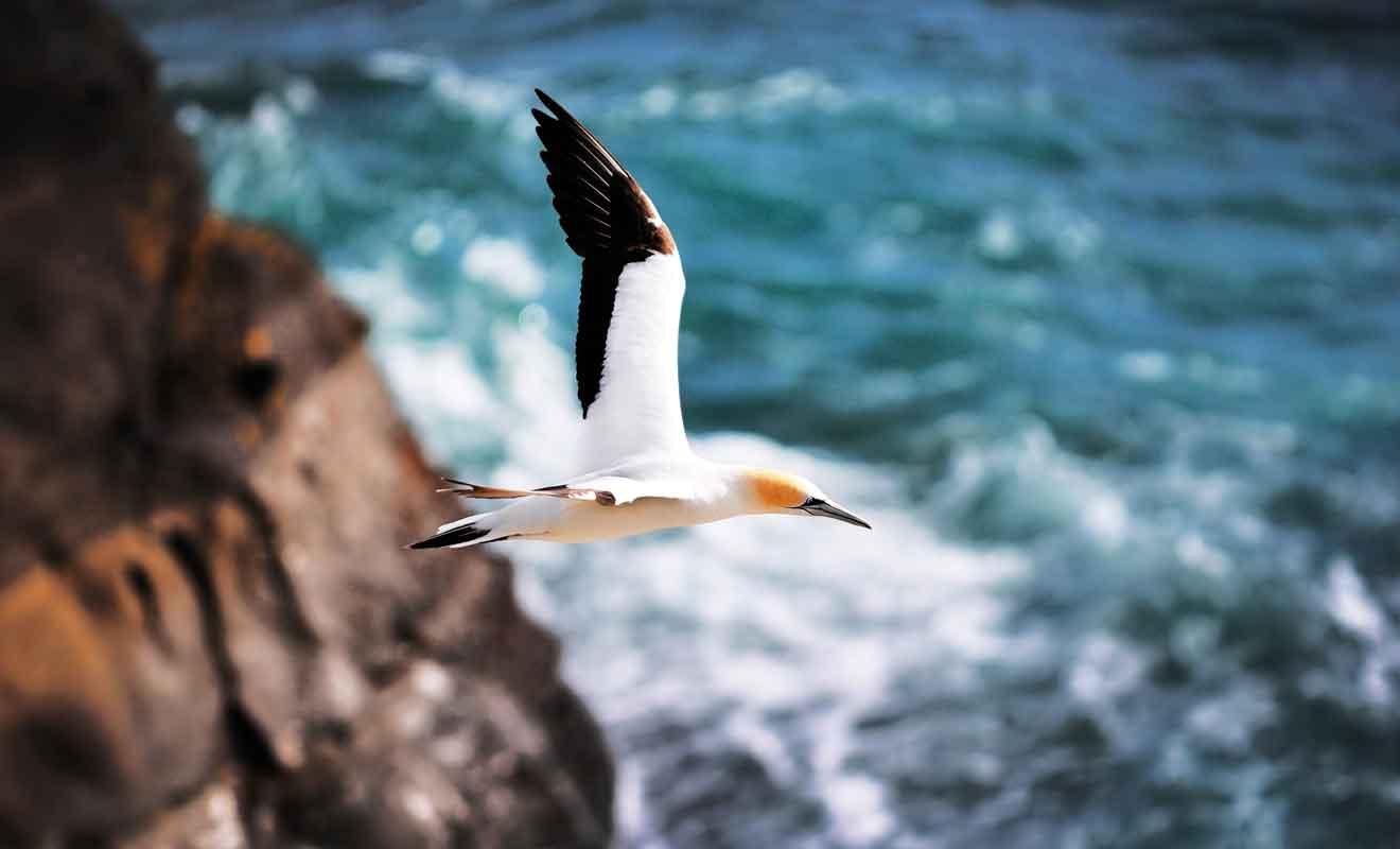 Les Australasian gannets nichent sur les rochers de Cape Kidnappers.