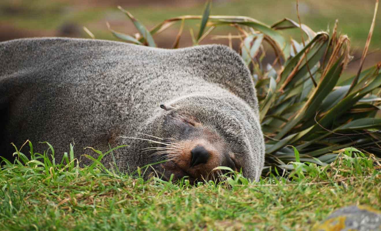 Les otaries dorment dans les herbes haute entre les rochers.