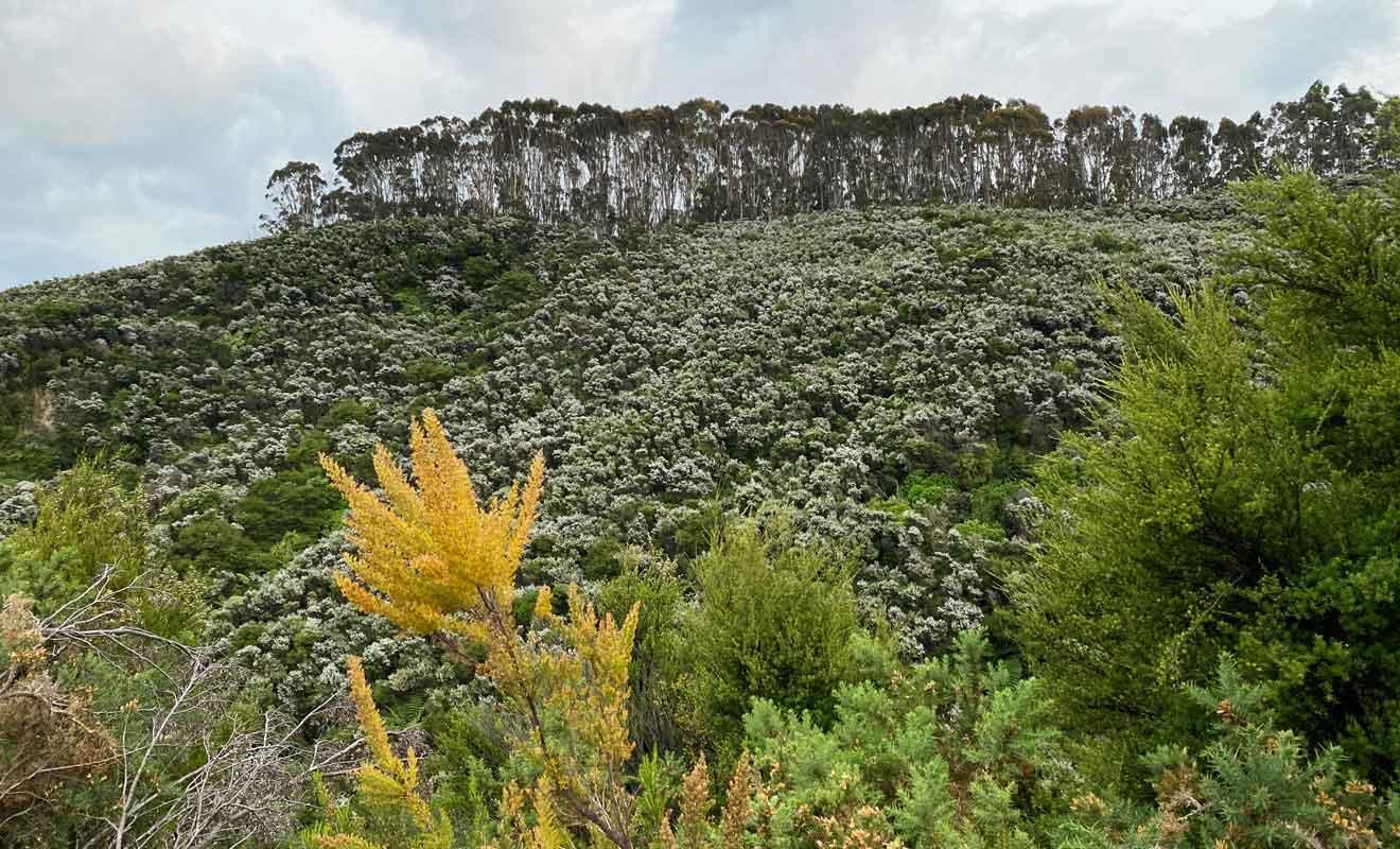 Les manukas qui donnent un miel thérapeutique excellent poussent par centaines à flanc de colline.