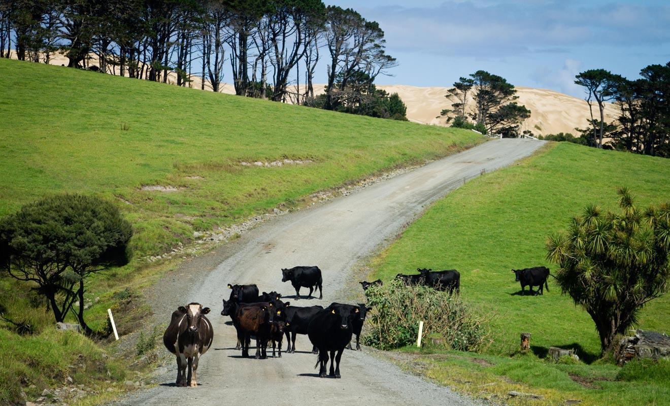 Si les vaches veulent bien vous laisser passer, vous devriez découvrir les dunes de Te Paki au bout de la route.
