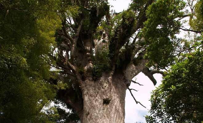 L'arbre kauri se forme durant 800 ans et peut vivre pendant près de 2000 ans. Il suffit d'observer sa circonférence de dix mètres et sa hauteur de cinquante mètres pour comprendre le caractère sacré que lui attribuent les Maoris.