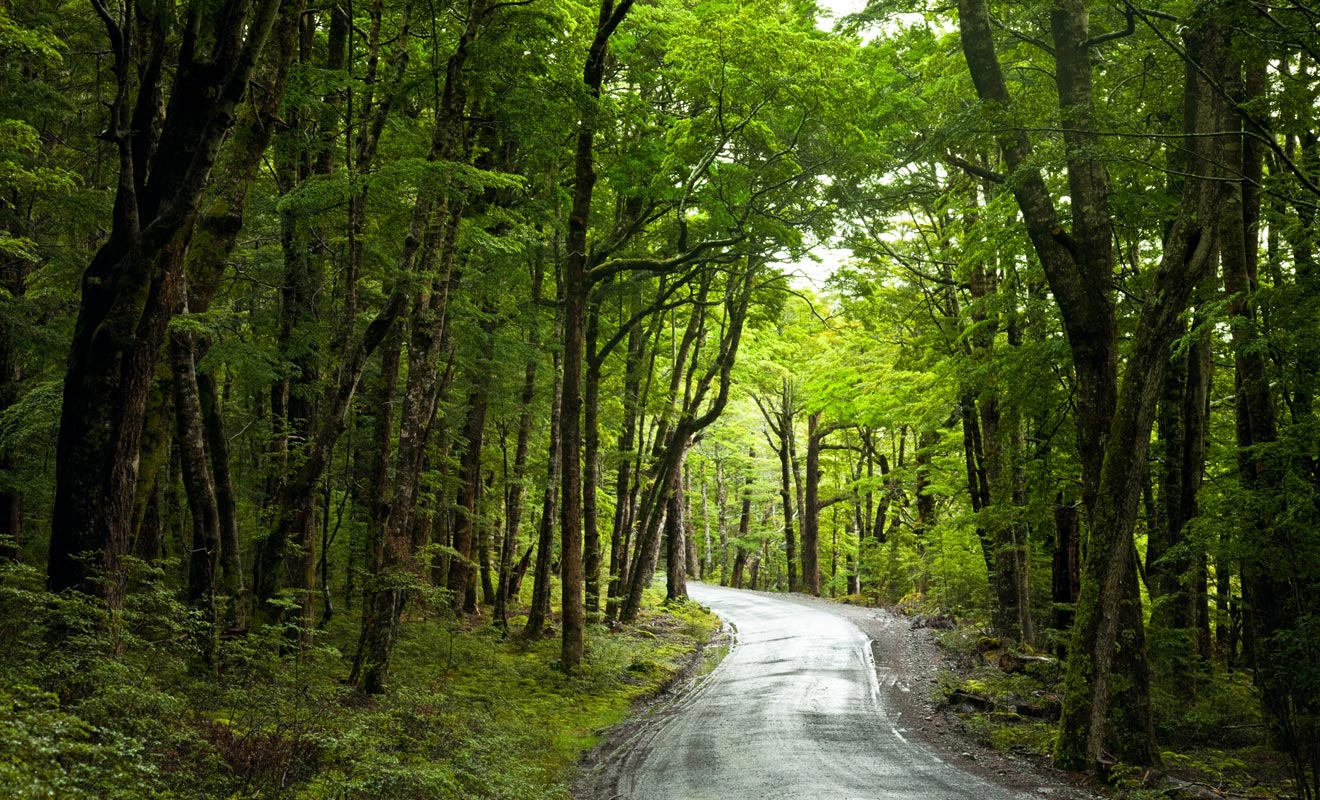 Les arbres qui poussent dans les forêts de l'île du Nord sont généralement des conifères.
