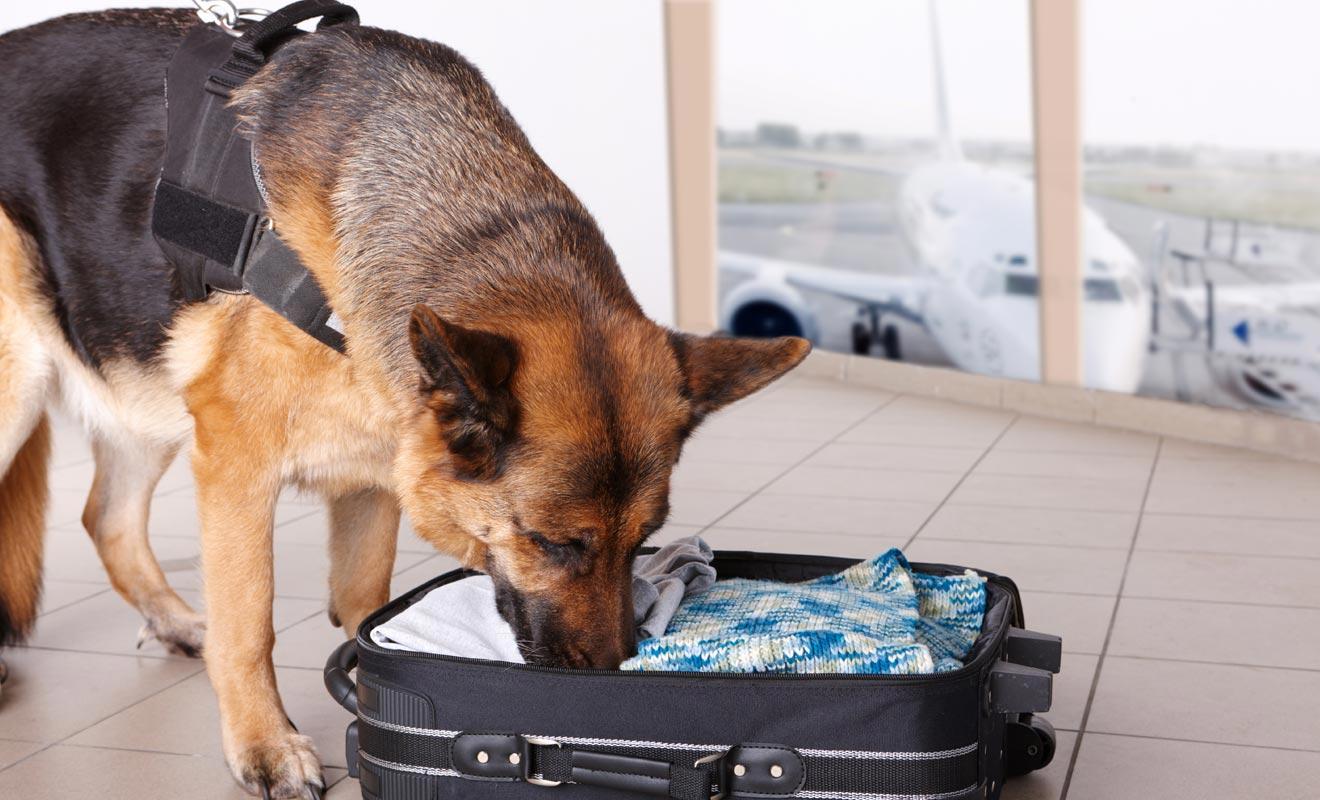 Les chiens de la sécurité de l'aéroport ne cherchent pas tant la drogue que les produits alimentaires non déclarés qui enfreignent les consignes de biosécurité.