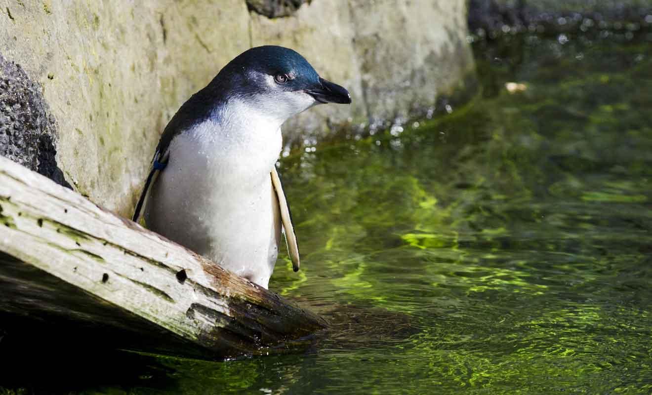 Les manchots évoluent dans un grand bassin qui leur permet de plonger et de se reposer sur des rochers.