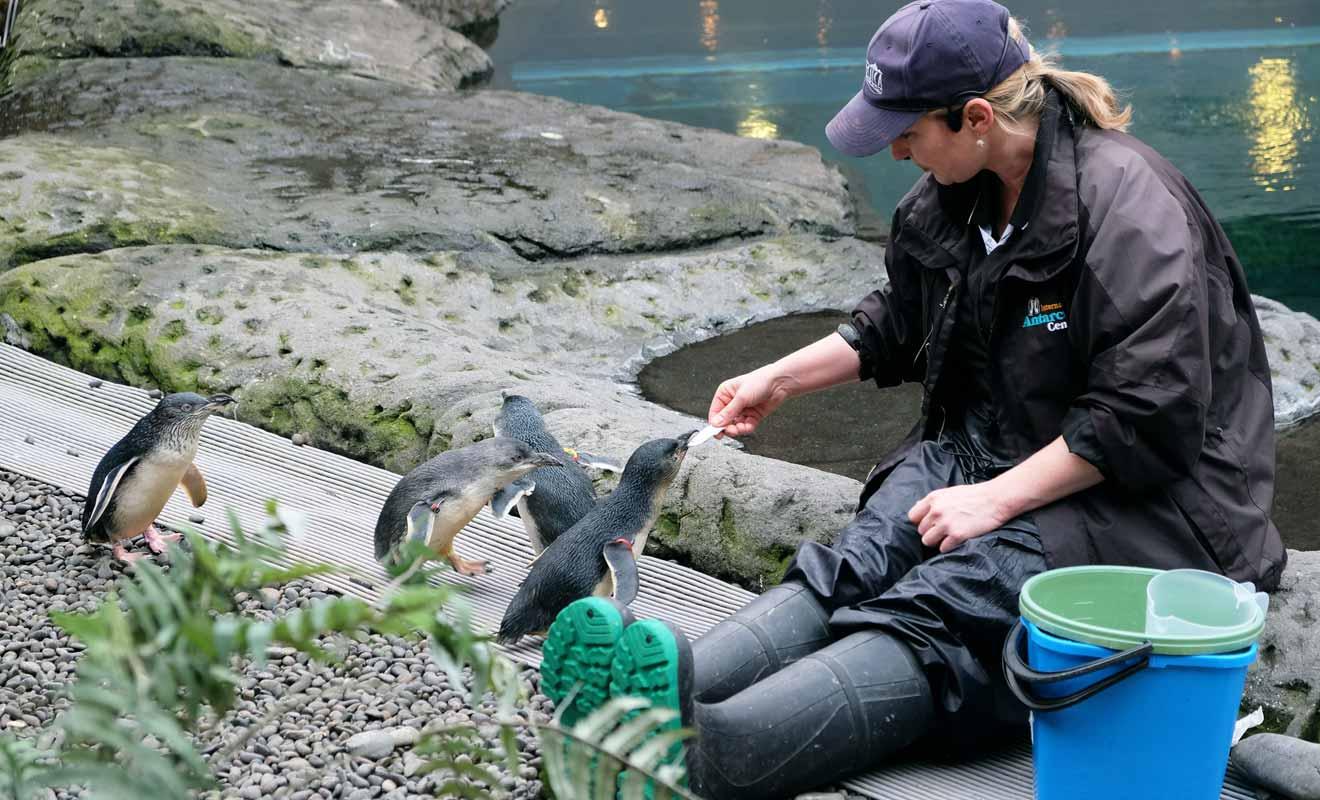Les manchots du centre de l'Antarctique ont été récupérés et soignés par les vétérinaires du centre.