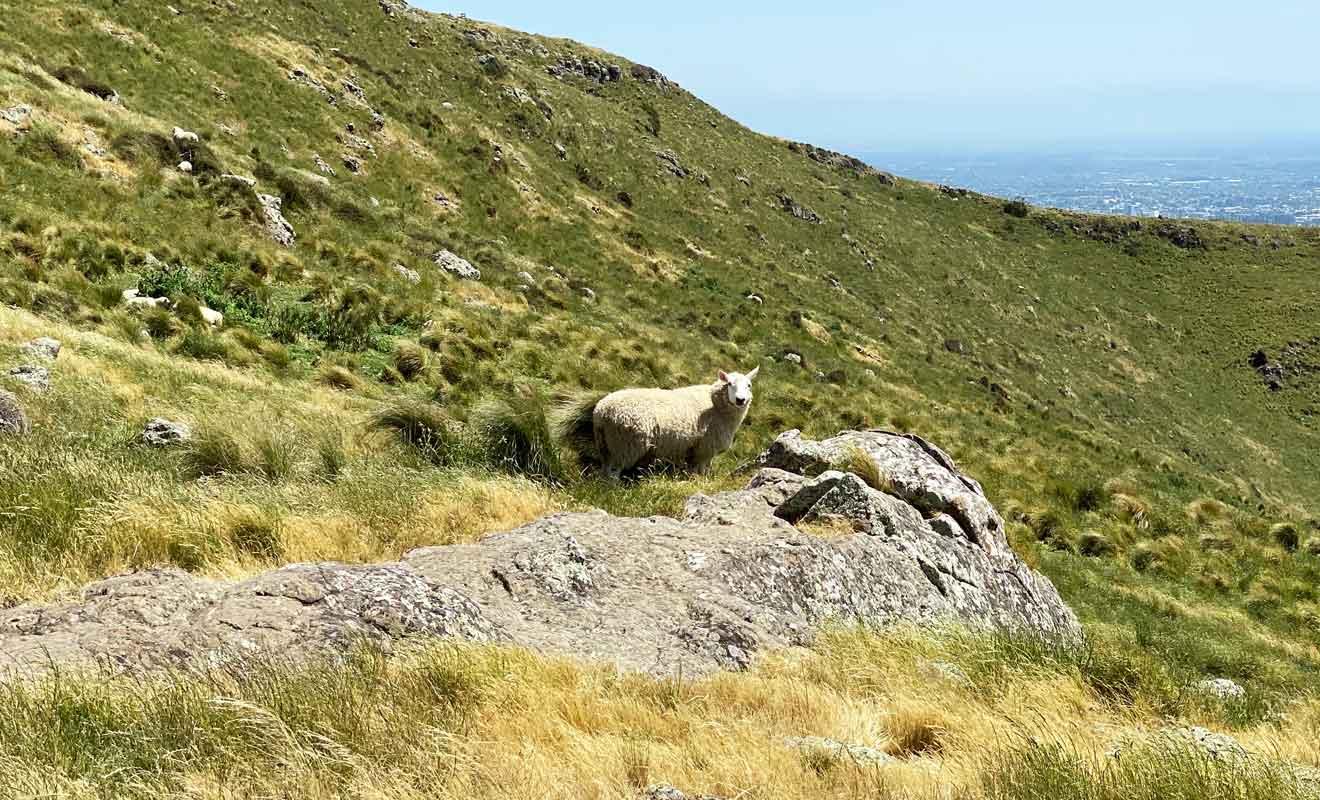 Il faut se munir d'un téléobjectif pour photographier les moutons, car ils se sauvent dès que l'on s'approche.