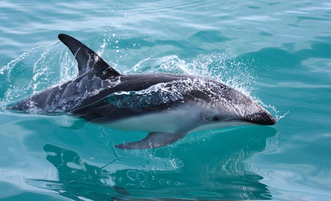 La nage avec les dauphins est une activité populaire dans ce pays et vous pourrez réaliser votre rêve aussi bien au large de l'île du Nord que de l'île du Sud.