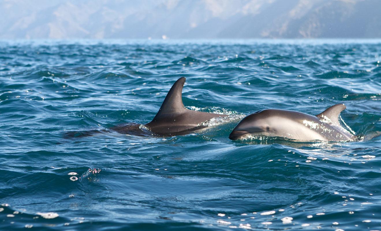 Il n'est pas rare d'observer des bancs de deux cents dauphins dans la péninsule de Kaikoura, ce qui en fait le meilleur endroit pour nager avec des dauphins en Nouvelle-Zélande.