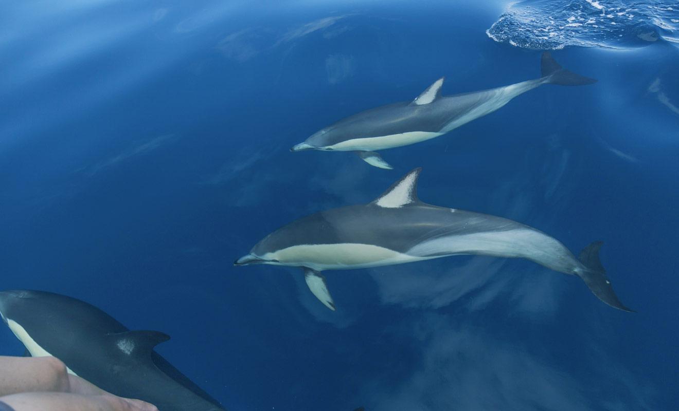 Le petit village d'Akaroa a été fondé par des colons français et il est désormais spécialisé dans la nage avec les dauphins de la péninsule de Banks.