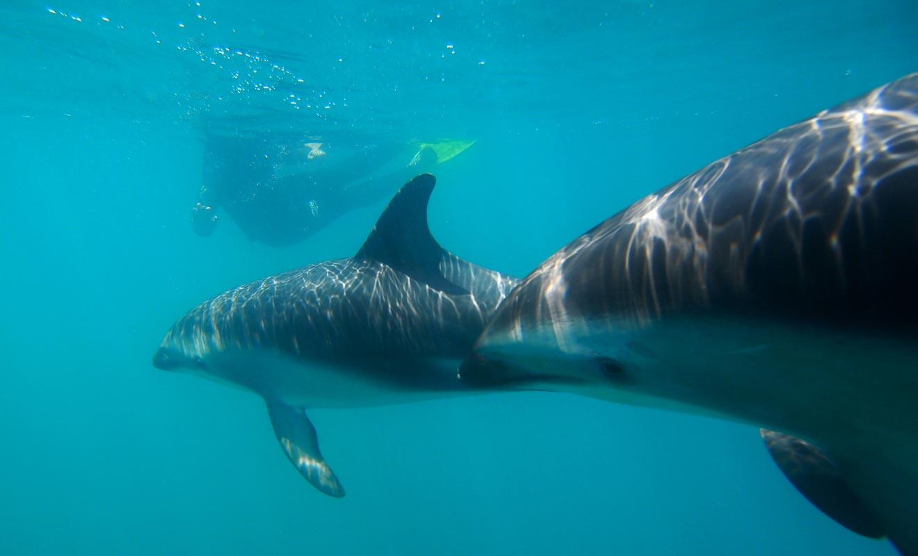 Nager en compagnie de ces merveilleux mammifères est tout à fait possible. Il suffit de s'inscrire à une sortie dans la baie des îles de Nouvelle-Zélande.