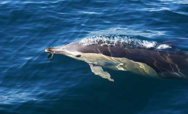On compte parfois plus de 200 dauphins ensemble. C'est un spectacle impressionnant auquel nous ne sommes pas habitués.