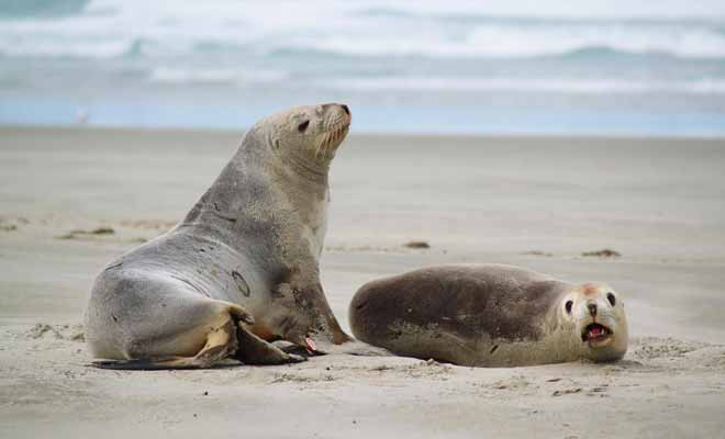 Il est facile d'identifier une otarie mâle de sa femelle. Monsieur pèse le double de sa compagne ! Gardez vos distances, ces animaux placides peuvent se montrer agressif si on les approche de trop près.