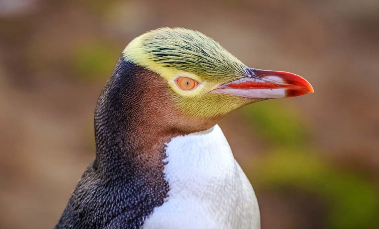Les pingouins à oeil jaune peuvent être admirés dans les Catlins. Des points d'observations discrets ont été aménagés pour ne pas ennuyer les pingouins.