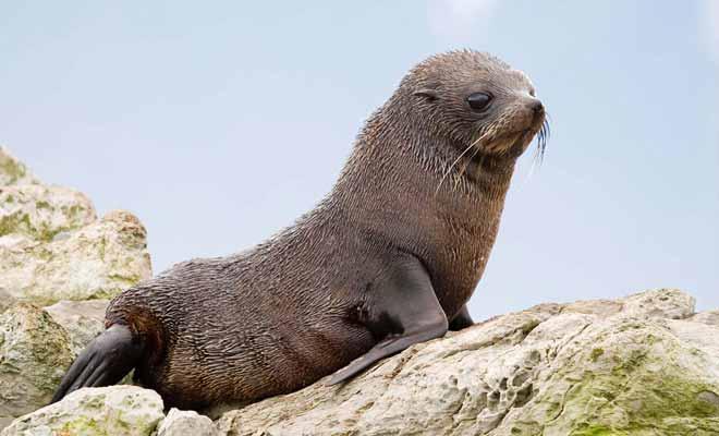 Parce que la Nouvelle-Zélande est restée à l'écart du monde durant des millions d'année, les mammifères sont très rares et ne présentent pas de dangers pour l'Homme.