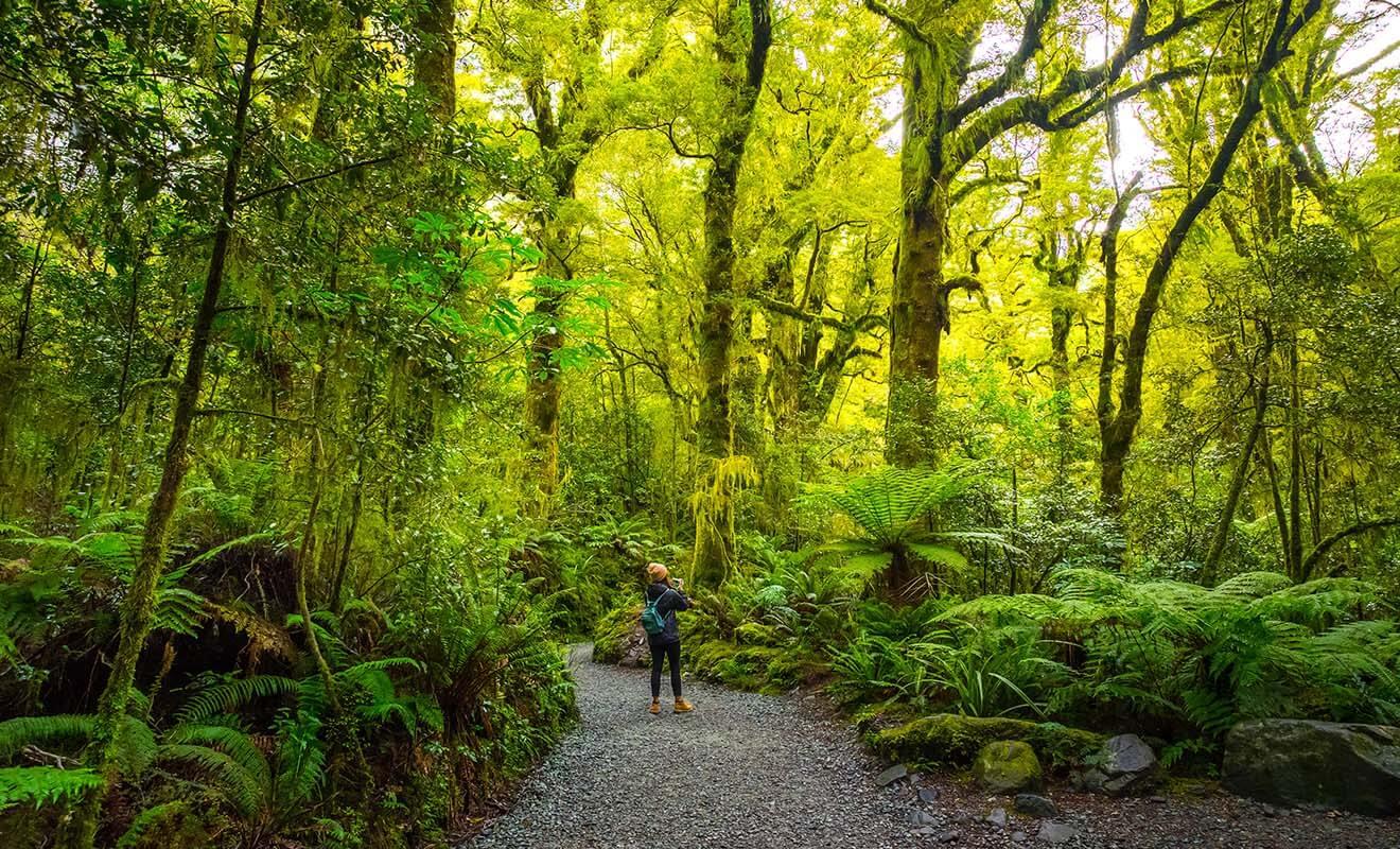 Il tombe plus de sept mètres de pluie par an dans le Fiordland chaque année, et cette humidité exceptionnelle permet à la mousse de recouvrir le moindre centimètre de tronc d'arbre.