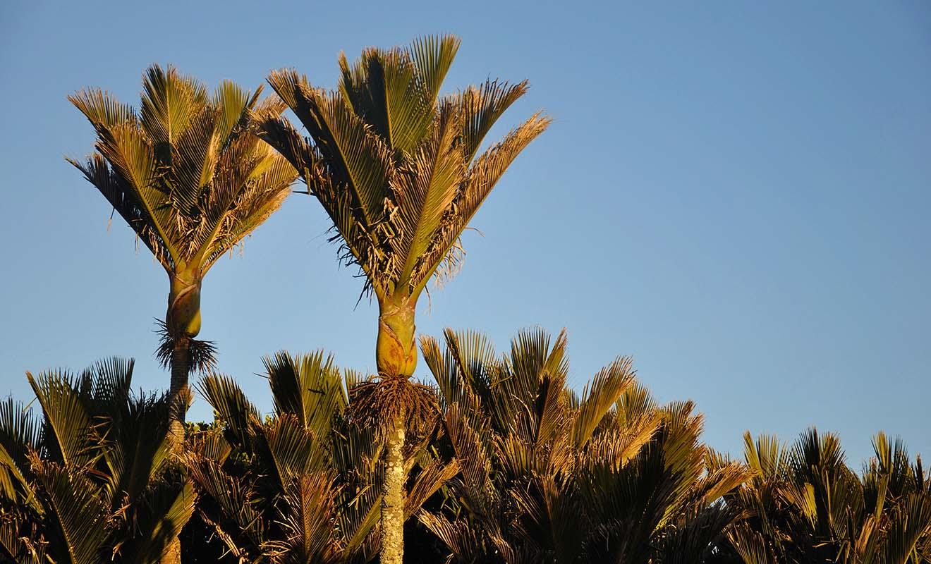 Le palmier nikau pousse sur la West Coast de l'île du Sud malgré la latitude très basse du pays.
