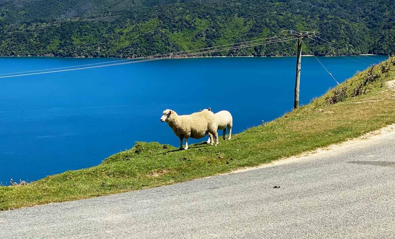 Le bétail se déplace librement dans les collines et traverse parfois la route.