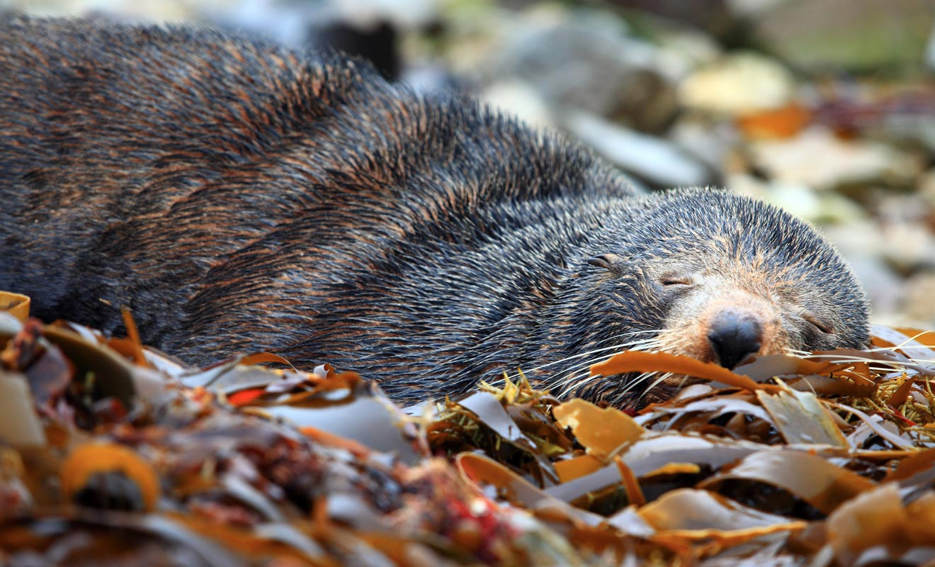 Une otarie, malgré son apparence paisible, demeure un animal sauvage. Il vaut mieux garder ses distances pour les laisser dormir tranquillement.