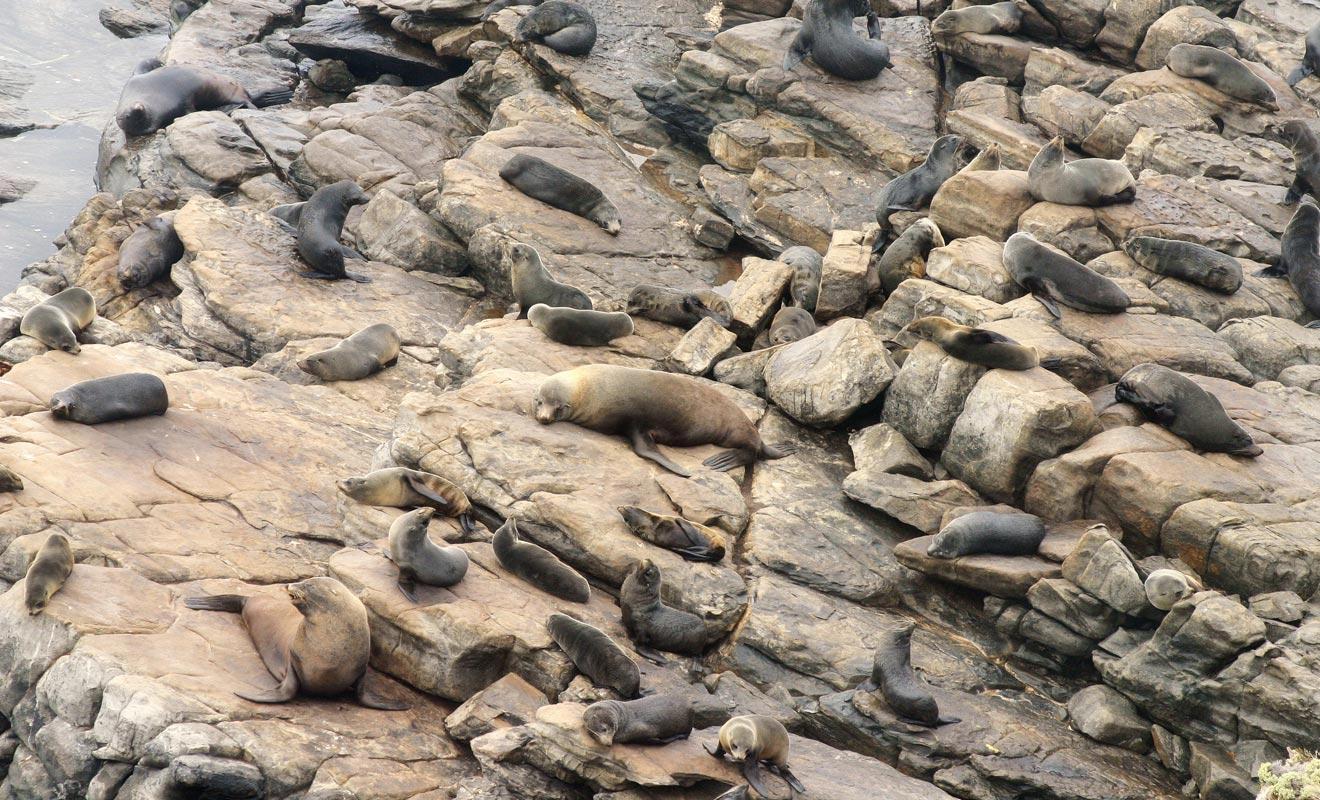 Les colonies d'otaries sont aujourd'hui protégées, car l'espèce avait été largement exterminée par les chasseurs.