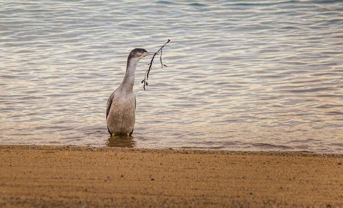 Les cormorans viennent de l'île au large de la plage.