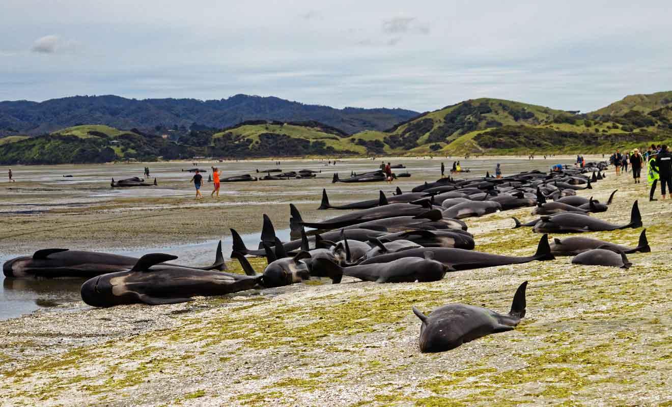 Les cétacés qui s'échouent sur le sable sont généralement condamnés à périr.