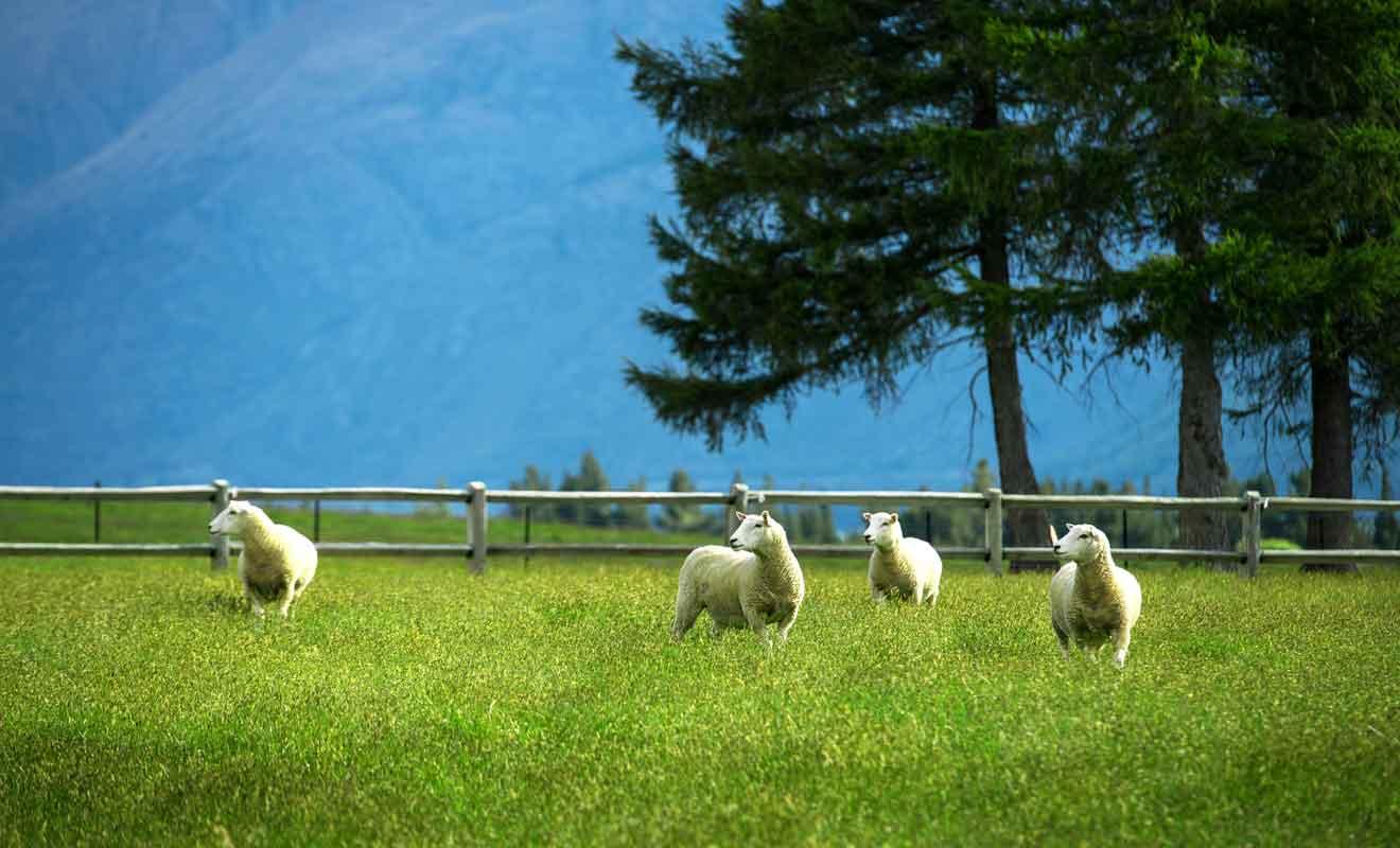 N'espérez pas approcher les moutons, car ils se sauvent dès que l'on descend de la voiture.