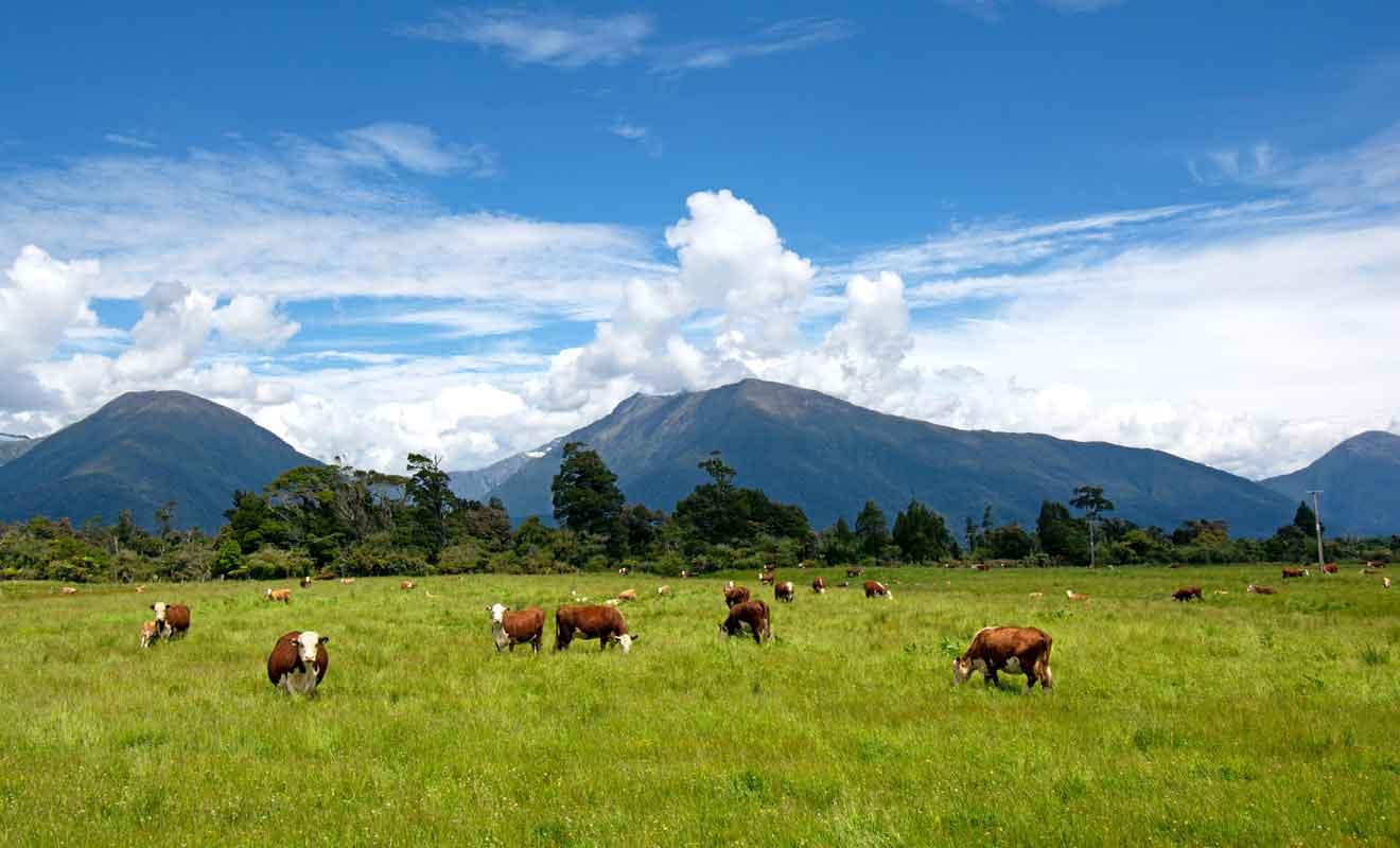 Makarora et ses pâturages pour les vaches et les moutons.