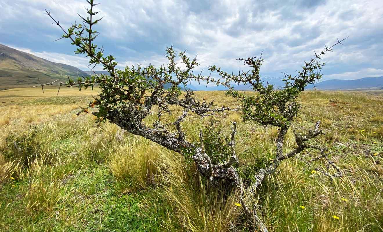 Prenez garde aux épines des arbustes lorsque vous explorez les plaines d'Hakatere.