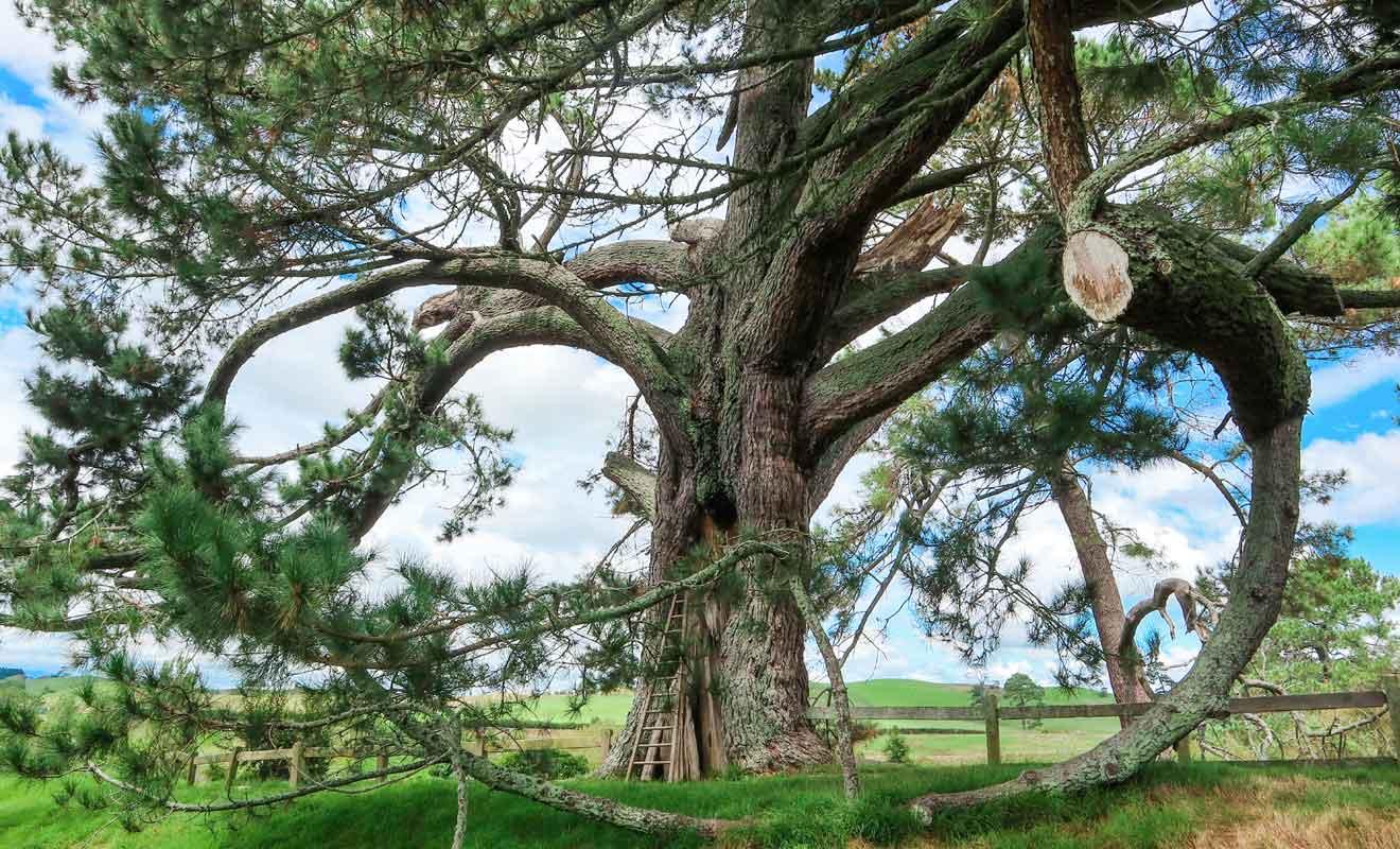 C'est sous cet arbre que Bilbo disparaît avant de léguer l'anneau à Frodon.