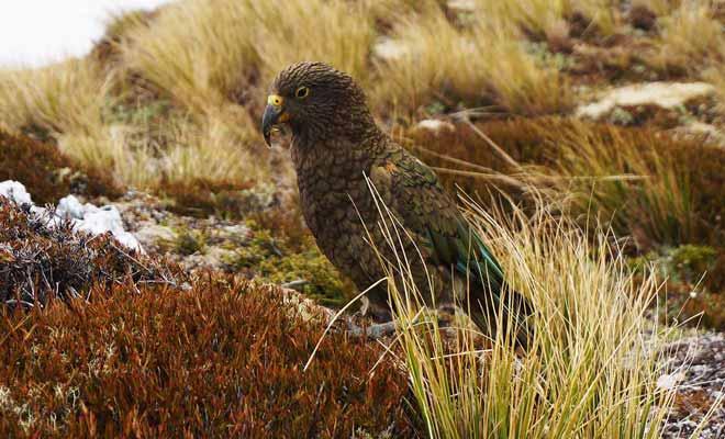 Le kea est non seulement un splendide perroquet, il est aussi l'oiseau le plus intelligent du monde.
