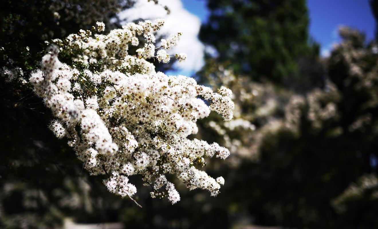 Les petites fleurs parfumées du kanuka sont butinées par les abeilles. Le miel qu'elles produisent est très apprécié dans le pays.