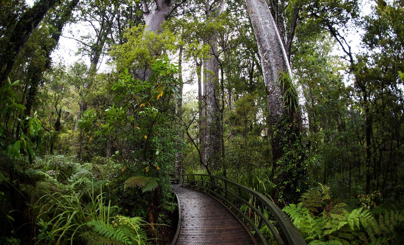 Un arbre kauri vit en moyenne plusieurs siècles, mais certains atteignent l'âge canonique d'un millier d'années. Certains arbres que vous verrez datent du Xe siècle !