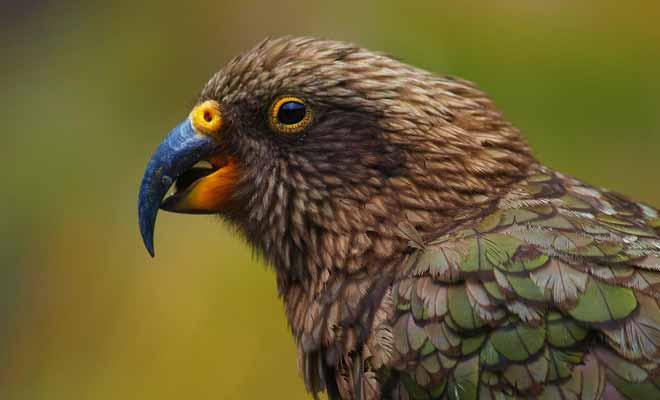 Le kea est à la fois le seul perroquet de montagne du monde et le plus intelligent de son espèce. Capable de fouiller dans les sacs, il peut aussi résoudre des problèmes complexes comme l'ont démontré de nombreuses études.